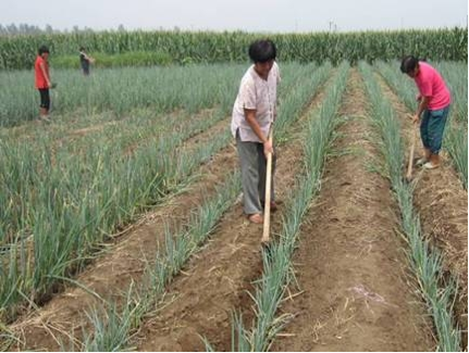 Farmers working in demonstration fields, Zhangqiu, Shandong Province