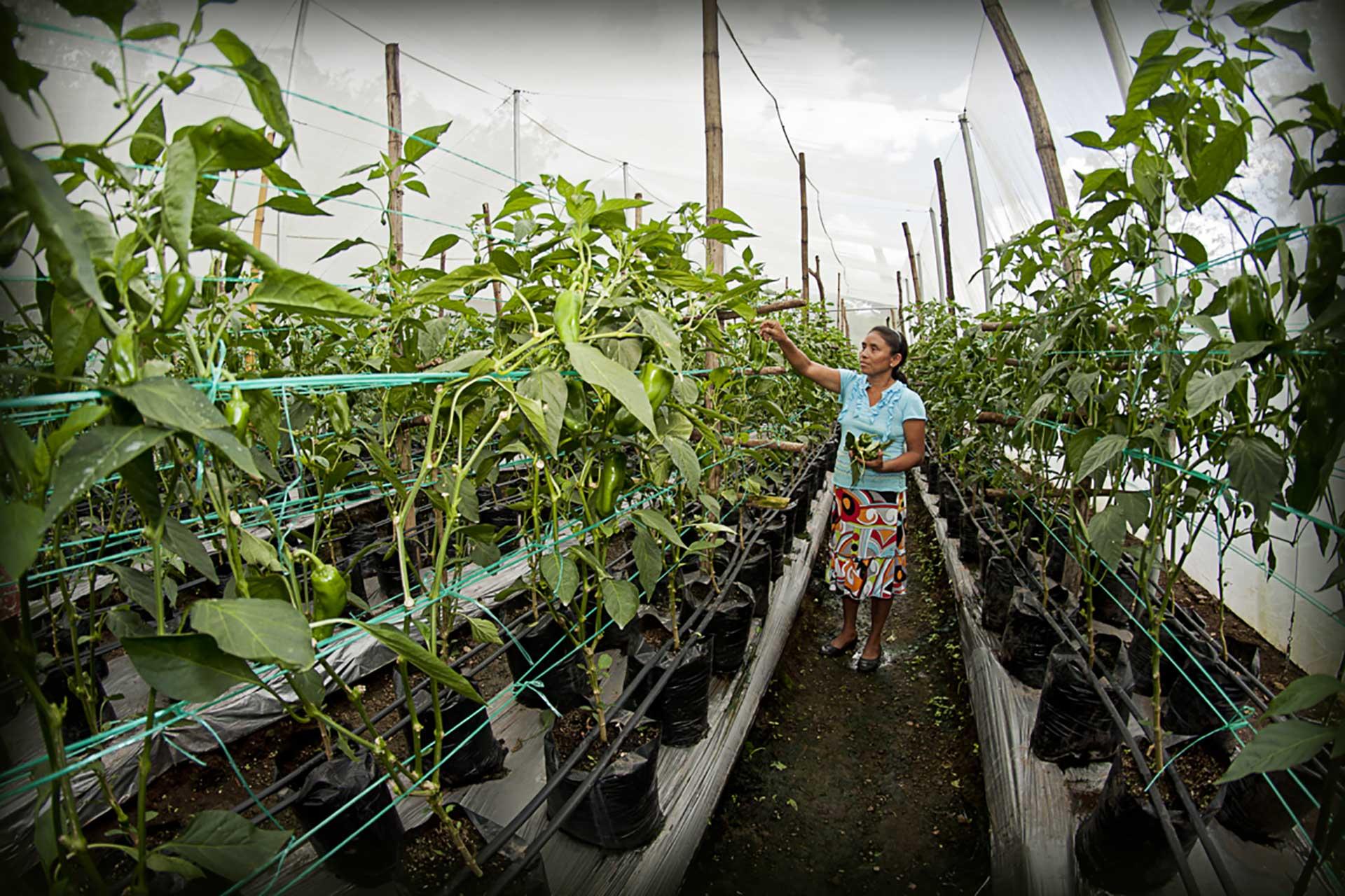 Familias beneficiarias recibieron dotaciones de semillas y fertilizantes para mejorar la variedad y calidad de sus producciones
