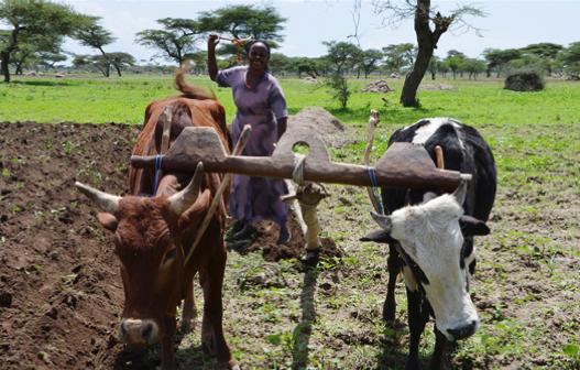 Ila Robale, una beneficiaria del programa, recibió un préstamo para comprar un segundo buey para arar sus 1.5 hectáreas de tierra y producir alimentos para su familia