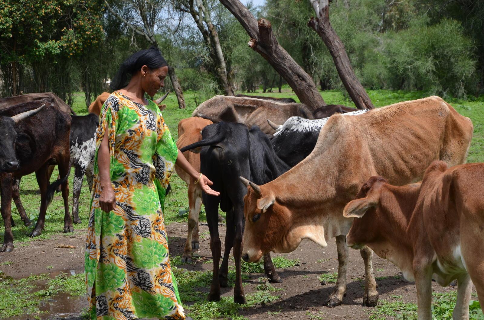 Kedija Wako takes care of the livestock the family owns (Photo Credit-UN Women-Fikerte Abebe)