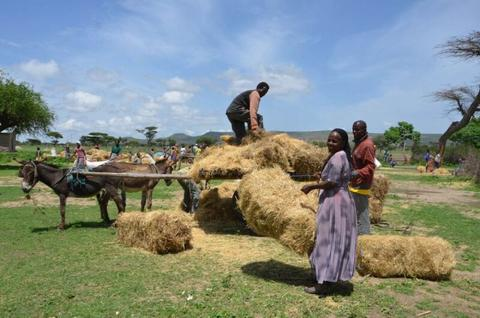 Ila Robale collects livestock feed for her ox. SDG Fund/UN Women/Fikerte Abebe